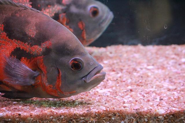 šedé ryby